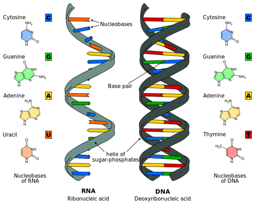 DNA_Bases_Normal_Wide