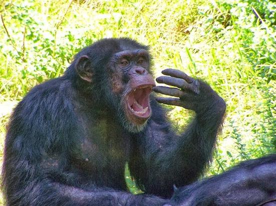 chimpance bostezando