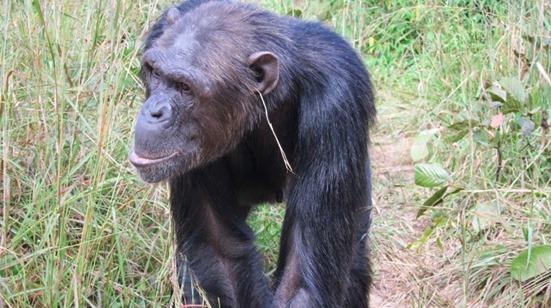 monos chimpaces que se colocan una hierba en la oreja 2