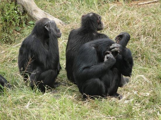 monos chimpaces que se colocan una hierba en la oreja