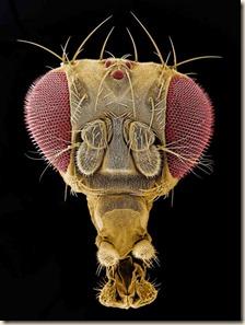 drosophala-head